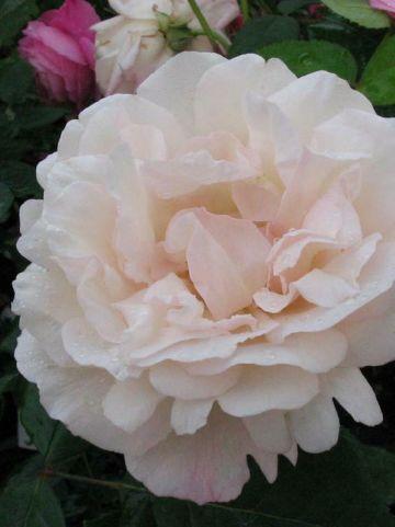 Rosa  'Grüss an Aachen' - Ouderwetse roos