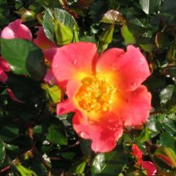 Rosa  'Happy Chappy' - Bodembedekkende roos