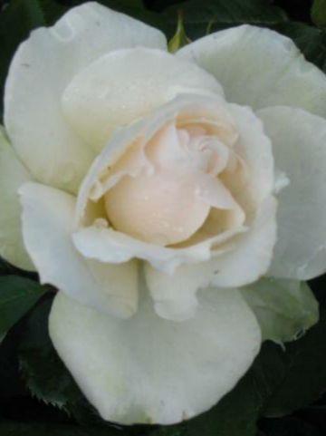 Rosa  'Princess Of Wales' (='Hardinkum') - Trosroos
