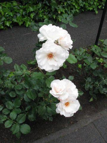 Rosa  'Margaret Merril' (='Harkuly') - Trosroos
