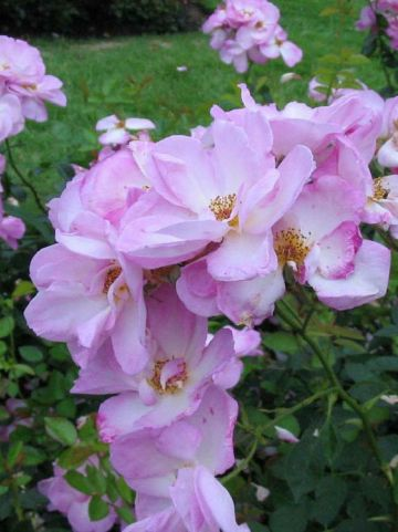 Rosa  'Escapade' (='Harpade') - Trosroos