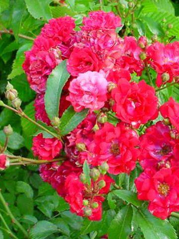 Rosa  'Fairy Dance' (='Harward') - Trosroos
