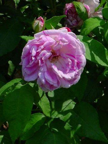 Rosa  'Honorine de Brabant' - Bourbonroos