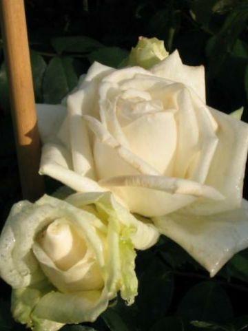 Rosa  'Ilse Krohn Superior' - Klimroos
