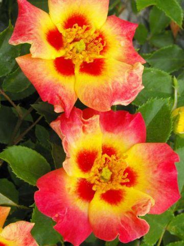 Rosa  'Sunshine Babylon Eyes' (='Intereybabnus') - Persica-hybride