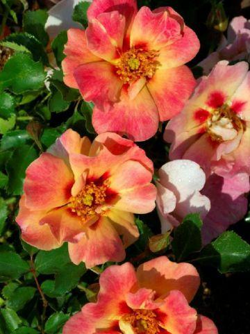 Rosa  'Coral Babylon Eyes' (='Intereybabroc') - Persica-hybride