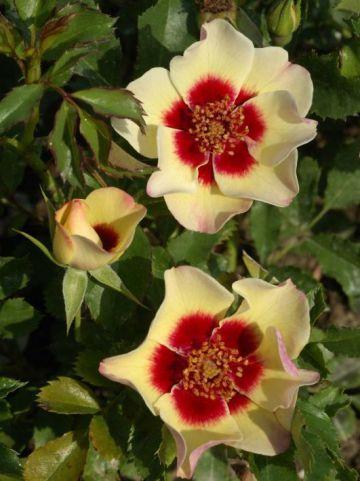 Rosa  'Pastel Babylon Eyes' (='Intereybabsap') - Persica-hybride