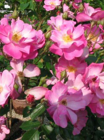 Rosa 'Lavender Dream' - Borderroos