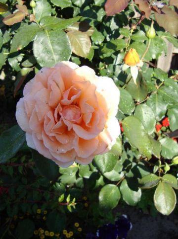 Rosa  'Just Joey' - Grootbloemige roos