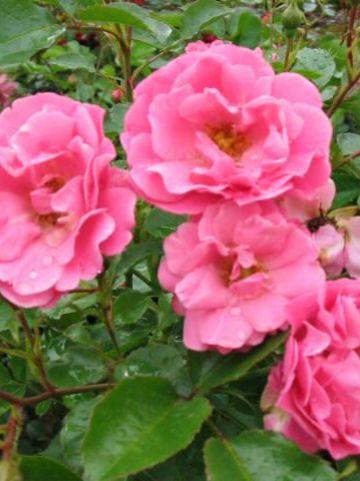 Rosa  'Sommerwind' (='Korlanum') - Bodembedekkende roos