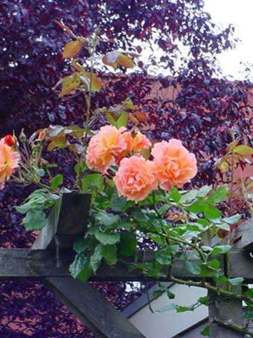 Rosa  'Westerland' (='Korlawe') - Heesterroos