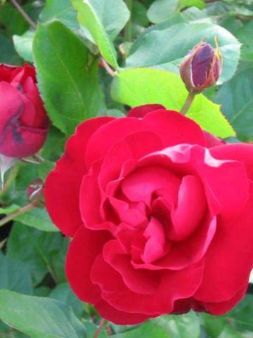 Rosa 'Lilli Marleen' - Floribundaroos