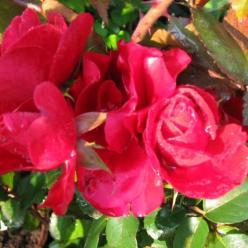 Rosa  'Amadeus' (='Korsetag') - Klimroos
