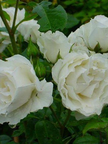 Rosa  'Kristall' - Trosroos