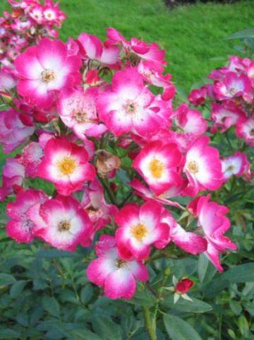Rosa  'Bukavu' (='Lenbrirus') - Heesterroos