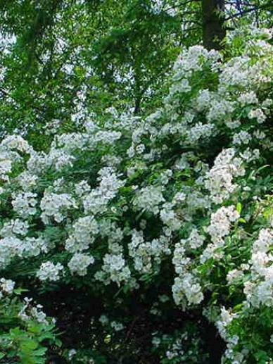 Rosa  'Pleine De Grace' (='Lengra') - Heesterroos