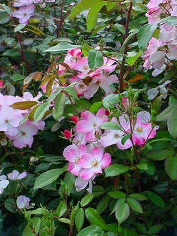 Rosa  'Rush' (='Lenmobri') - Heesterroos
