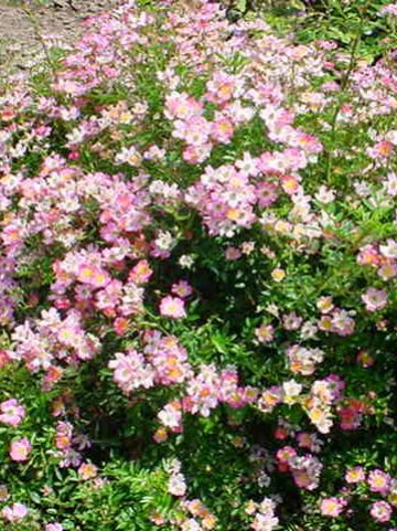 Rosa  'Pink Spray' (='Lenray') - Bodembedekkende roos