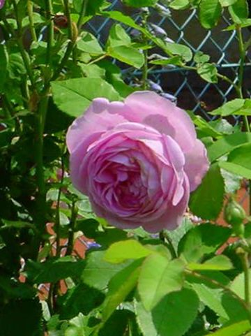 Rosa  'Louise Odier' - Bourbonroos