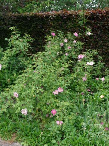 Rosa  'Marguerite Hilling' - Heesterroos