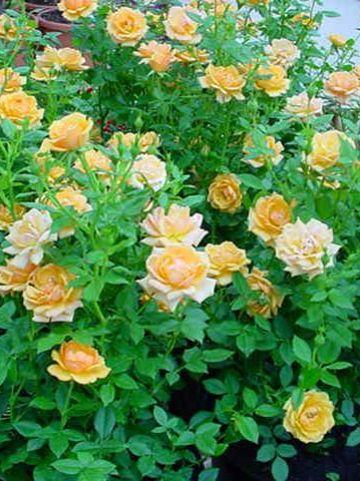Rosa  'Amber Nectar' (='Mehamber') - Patioroos , Trosroos