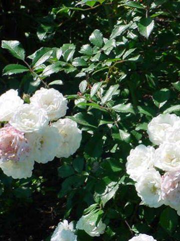 Rosa  'Alba Meidiland' (='Meiflopan') - Heesterroos