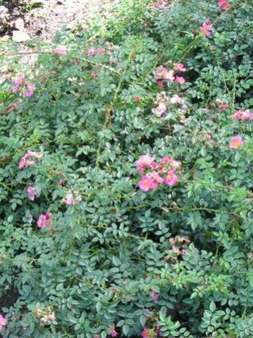 Rosa  'Mini Love' - Bodembedekkende roos