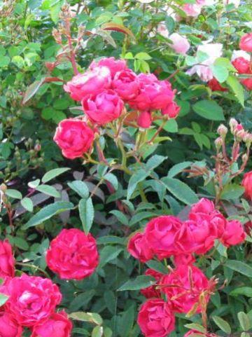 Rosa  'Mothersday' - Trosroos