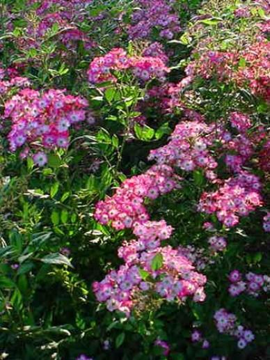 Rosa  'Mozart' - Ouderwetse roos