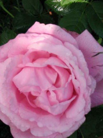 Rosa  'Mrs John Laing' - Ouderwetse roos , Remontantroos