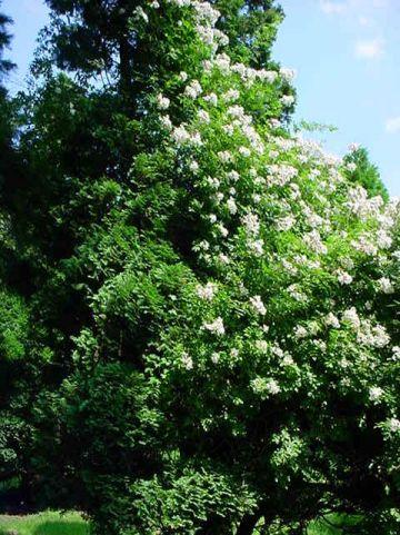 Rosa multiflora  - Botanische klimroos