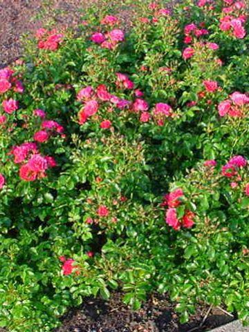 Rosa  'Heidetraum' (='Noatraum') - Bodembedekkende roos