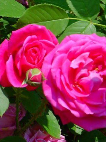 Rosa  'Parkjuwell' -