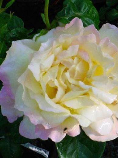 Rosa 'Peace' - Hybride-Theeroos