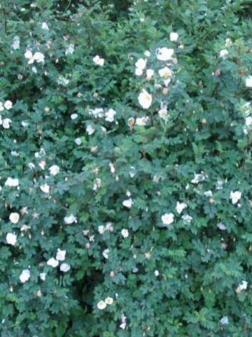 Rosa pimpinellifolia  - Duinroos