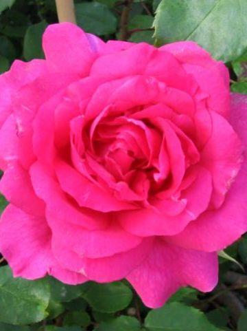 Rosa  'Pink Cloud' - Klimroos