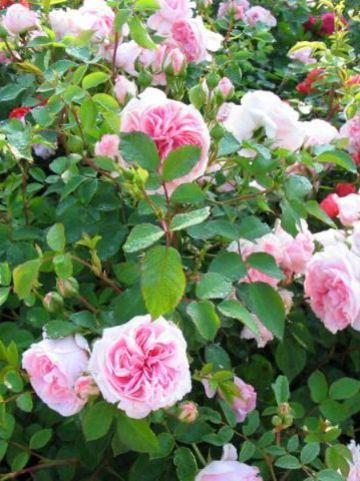 Rosa  'The Faun' (='Pouloma') - Trosroos