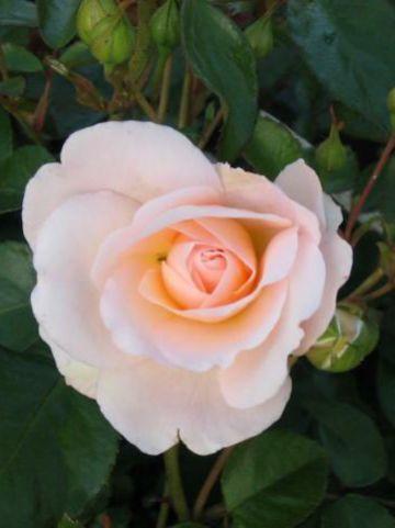 Rosa  'Crystal Palace' (='Poulrek') - Patioroos