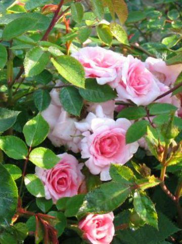 Rosa  'Nordina' (='Poulskab') - Kleinbloemige klimroos