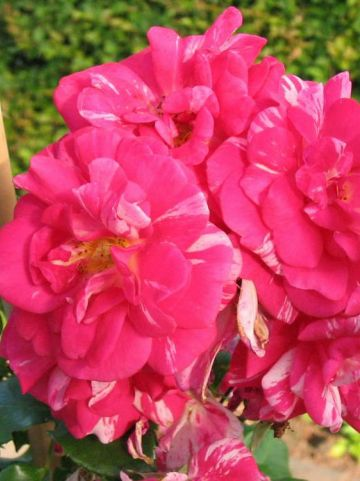 Rosa  'Twist' (='Poulstri') - Kleinbloemige klimroos