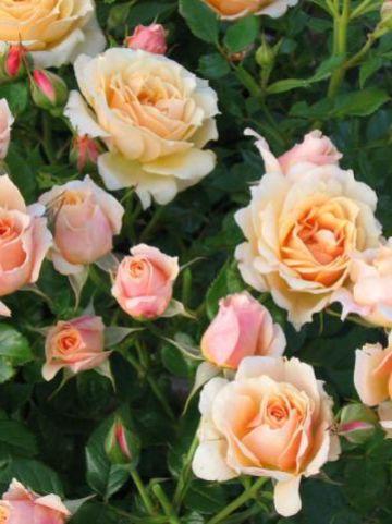 Rosa  'Favourite' (='Poululv') - Trosroos