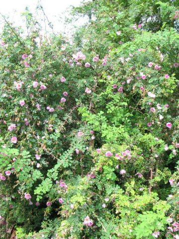 Rosa roxburghii  - Wilde roos