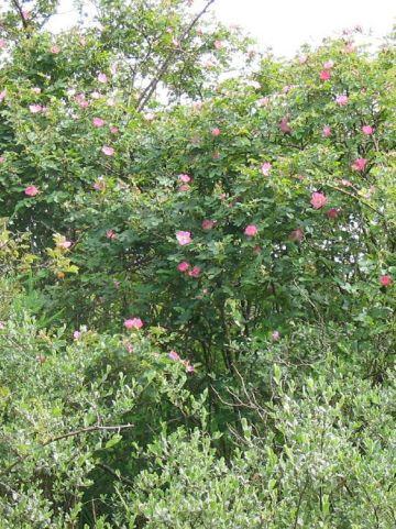 Rosa rubiginosa  - Botanische roos