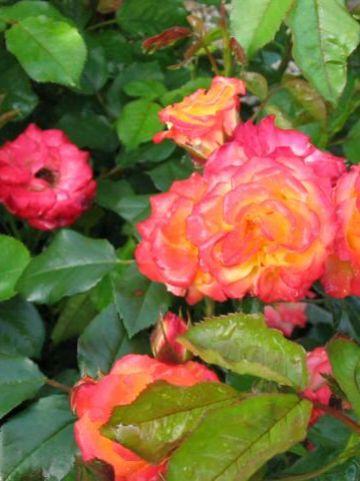 Rosa  'Rumba' - Trosroos