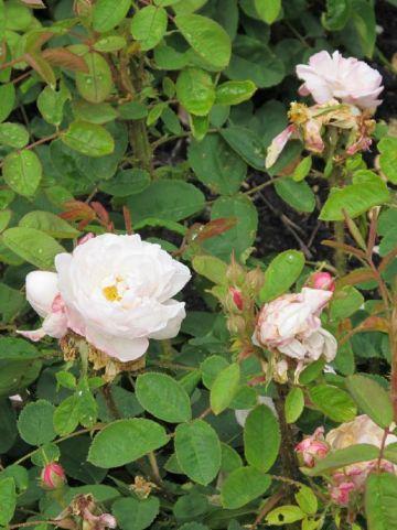 Rosa  'Souvenir de la Malmaison' - Bourbonroos