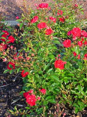 Rosa  'Fairy Queen' (='Sperien') - Trosroos