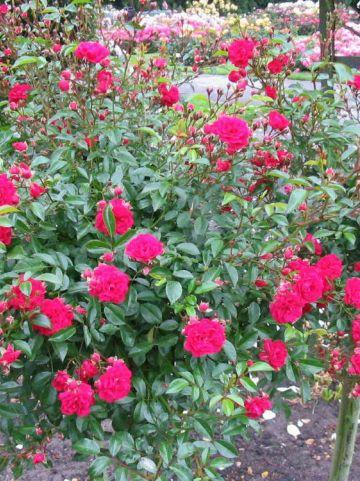 Rosa  'Fairy Queen' (='Sperien') - Trosroos