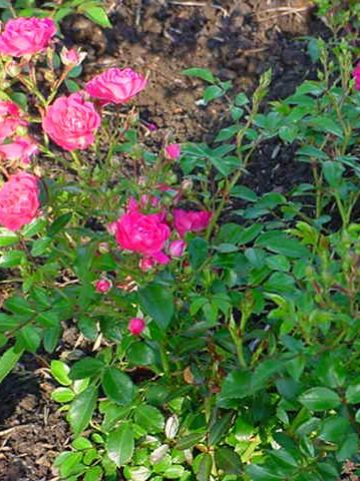 Rosa 'Lovely Fairy' - Patioroos, Polyantharoos, Heesterroos