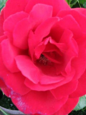 Rosa  'Sympathie' - Klimroos
