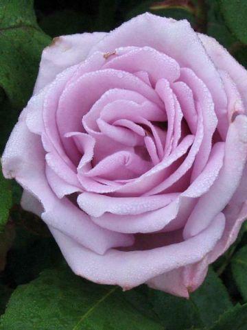Rosa  'Mainzer Fastnacht' (='Tannacht') - Grootbloemige roos